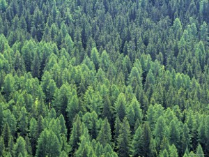 picture of a pine forest